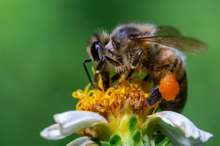 Polen recolectado por abejas